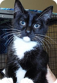 Domestic Shorthair Kitten for adoption in Grants Pass, Oregon - Sebastian