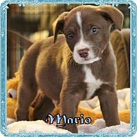 Adopt A Pet :: Mario - Ringwood, NJ