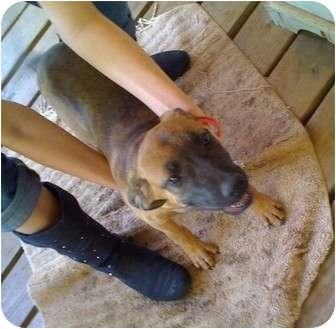Boxer/Labrador Retriever Mix Dog for adoption in Kingwood, Texas - Daisy Dog