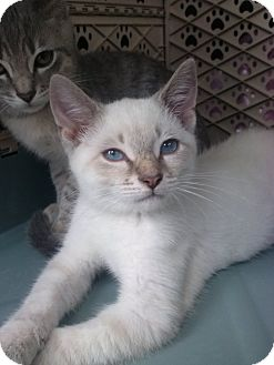 Siamese Kitten for adoption in Lantana, Florida - Winter