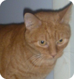 Domestic Shorthair Cat for adoption in Hamburg, New York - Ginger