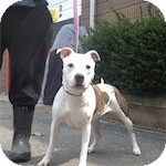 American Staffordshire Terrier Mix Dog for adoption in Long Beach, New York - Lulu