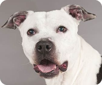 Pit Bull Terrier/American Staffordshire Terrier Mix Dog for adoption in Chicago, Illinois - Coco