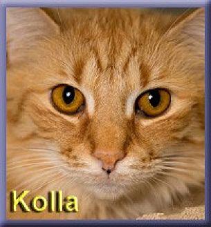 Domestic Longhair Cat for adoption in Aldie, Virginia - Kolla