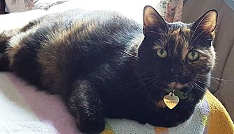 Domestic Shorthair Cat for adoption in Pasadena, California - Meera