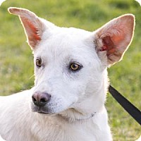 Husky Mix Puppy for adoption in West Allis, Wisconsin - Laken