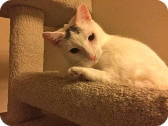 Domestic Shorthair Cat for adoption in Jersey City, New Jersey - Sugar