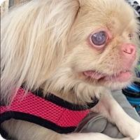 Pekingese Dog for adoption in Ft. Lauderdale, Florida - Austin