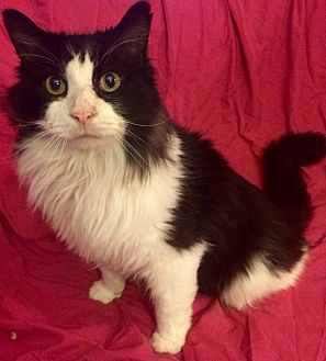 Domestic Longhair Cat for adoption in Rochester, Michigan - Rocky