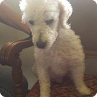 Adopt A Pet :: Abigail - Lodi, CA