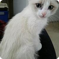 Adopt A Pet :: Foxtrot - Fort Collins, CO