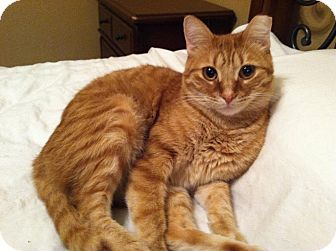 Domestic Shorthair Cat for adoption in Roanoke, Texas - Tumbles