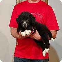 Adopt A Pet :: Romeo - Gahanna, OH