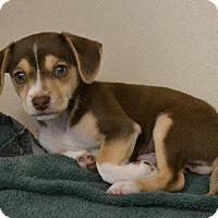 Adopt A Pet :: Leonardo - Hollywood, MD