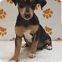 Adopt A Pet :: Doxi - Pompton Lakes, NJ
