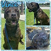 Adopt A Pet :: Vince - Scottsdale, AZ