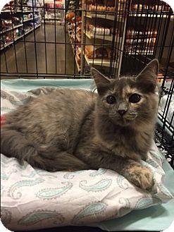 Domestic Mediumhair Kitten for adoption in Greensburg, Pennsylvania - Millie