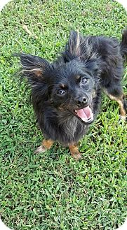 Chihuahua Dog for adoption in Spartanburg, South Carolina - Johnny Cash (calling him Cash)