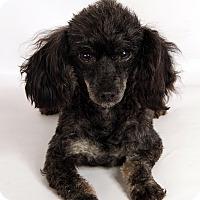 Adopt A Pet :: Latisha Poodle - St. Louis, MO