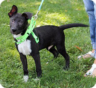 Labrador Retriever/Shepherd (Unknown Type) Mix Puppy for adoption in Harrison, New York - Orlando