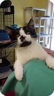 Domestic Mediumhair Cat for adoption in Sunrise Beach, Missouri - Oreo