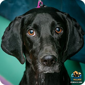 Hound (Unknown Type)/Labrador Retriever Mix Dog for adoption in Evansville, Indiana - Pepsi