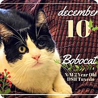 Adopt A Pet :: Bobocat - Pittsburg, KS
