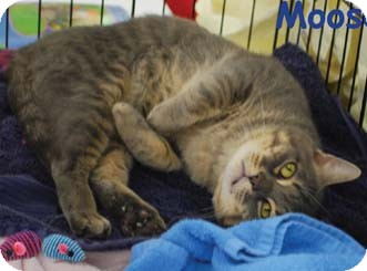 Domestic Shorthair Cat for adoption in Merrifield, Virginia - Moose