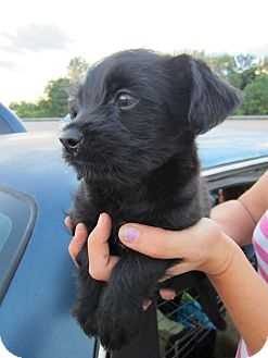 Yorkie, Yorkshire Terrier/Poodle (Miniature) Mix Puppy for adoption in Glastonbury, Connecticut - Galice-Adopted!
