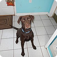 Labrador Retriever Dog for adoption in manville, New Jersey - Twix