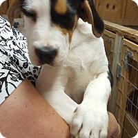 Adopt A Pet :: Boxer Mix Pup - AJ - Midlothian, VA