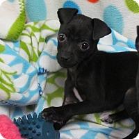 Adopt A Pet :: PEBBLES - Bedminster, NJ