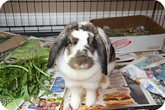 Lop, English Mix for adoption in Hazlet, New Jersey - Jessica Rabbit