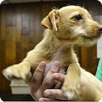 Adopt A Pet :: Mandee - Tavares, FL