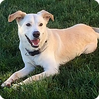 Golden Retriever/Labrador Retriever Mix Dog for adoption in Lincoln, Nebraska - Waldo