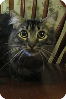 Domestic Mediumhair Cat for adoption in Oakland, Oregon - Marvin