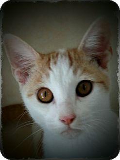 Domestic Shorthair Kitten for adoption in Pueblo West, Colorado - Pelton
