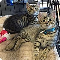 Domestic Shorthair Kitten for adoption in Horsham, Pennsylvania - Houdini - Adoption Pending