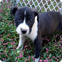 Labrador Retriever/Beagle Mix Puppy for adoption in Newark, Delaware - Axl