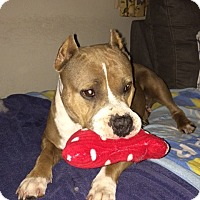 American Staffordshire Terrier Dog for adoption in San Diego, California - Kahleesi