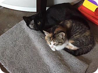 Domestic Shorthair Cat for adoption in Hanover, Ontario - Kubo