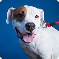 American Bulldog Mix Dog for adoption in Beverly Hills, California - Price