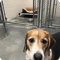 Adopt A Pet :: Dasiy - Barco, NC