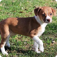 Adopt A Pet :: PUPPY LILLY BEE - Hagerstown, MD