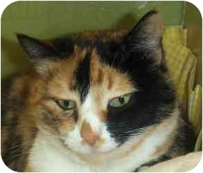 Domestic Shorthair Cat for adoption in Chicago, Illinois - Viola