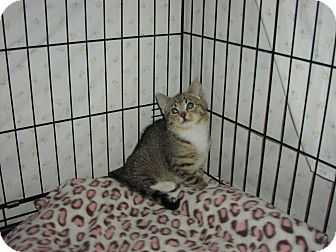 Domestic Shorthair Kitten for adoption in Speonk, New York - Mazi