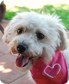 Cosita I Do Not Shed Adopted Dog Los Angeles Ca