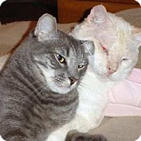 Domestic Shorthair Cat for adoption in Los Angeles, California - Noho Silver