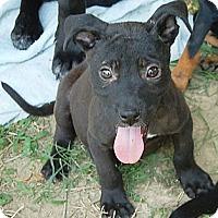 Adopt A Pet :: Sparticus - Brattleboro, VT