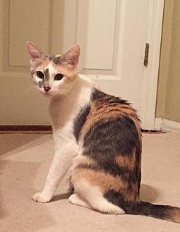 Calico Cat for adoption in Fenton, Missouri - Charlotte